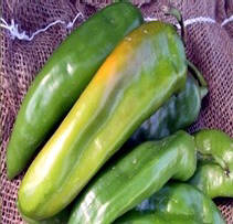 Extra hot hatch chile, another favorite of the hot chile lovers.